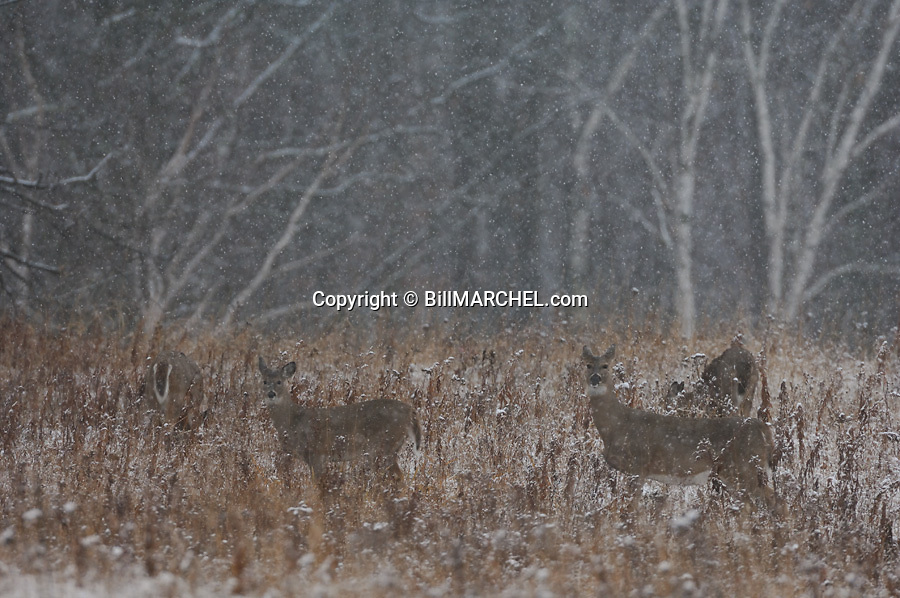 00275-195.11 White-tailed Deer (DIGITAL) Four does are feeding on goldenrod in meadow during a late fall snow storm.  Hunt, survive.  H3E1