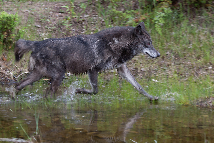 Grey Wolf trotting along the edge of a pond - CA
