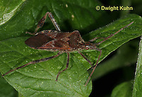 HE11-502z  Western Conifer Seed Bug, Leptoglossus occidentalis