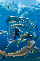 Caribbean reef shark, Carcharhinus pereziii, Stuart Cove's Dive Bahamas, Nassau, The Bahamas, Caribbean Sea, Atlantic Ocean, MR