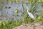 Brazoria County, Damon, Texas; a 1st spring stage, juvenile Little Blue Heron standing on a small island in the slough in morning light