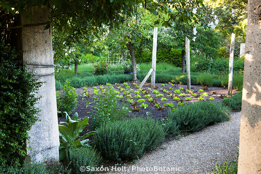 Rows of young lettuce plants in bed of garden room in Gary Ratway garden