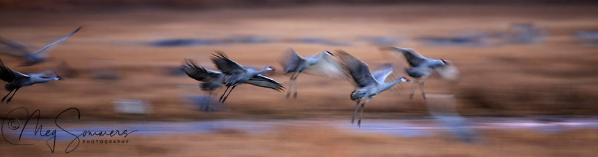 Sandhill cranes coming in to roost at sunset. Bosque del Apache National Wildlife Refuge in southern Socorro County, New Mexico.