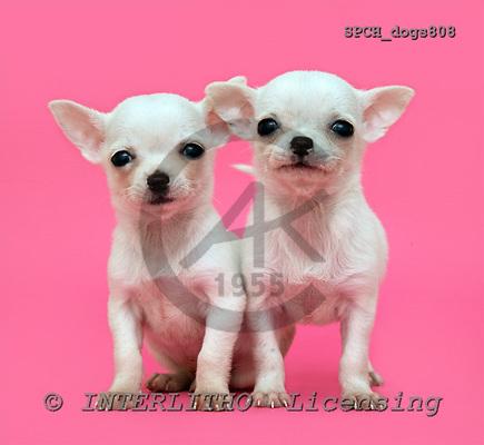 Xavier, ANIMALS, dogs, photos, SPCHdogs808,#A# Hunde, perros