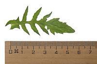Hirtentäschelkraut, Hirtentäschel-Kraut, Hirtentäschel, Stängelblatt, Capsella bursa-pastoris, Shepherd´s Purse. Blatt, Blätter, leaf, leaves