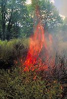 burning manzanita and ground cover in controlled burn on forest service land. hot, burning, flames, smoke, fire management. Mt. Shasta California.