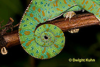 CH40-565z  Veiled Chameleon  Female curled tail, Chamaeleo calyptratus