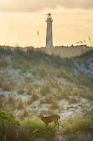 A deer wanders the sand dunes at sunset with the iconic St. Augustine lighthouse in the distance.