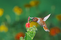 Rufous Hummingbird (Selasphorus rufus), male in flight feeding onTurk's Cap (Malvaviscus drummondii), Gila National Forest, New Mexico, USA
