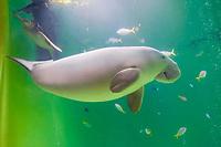 dugong, Dugong dugong, and green sea turtle, Chelonia mydas (c), Indo-Pacific Ocean