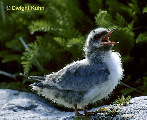 MC68-009z  Arctic Tern - fluffy chick - Machias Seal Island, Bay of Fundy - Sterna paradisaea