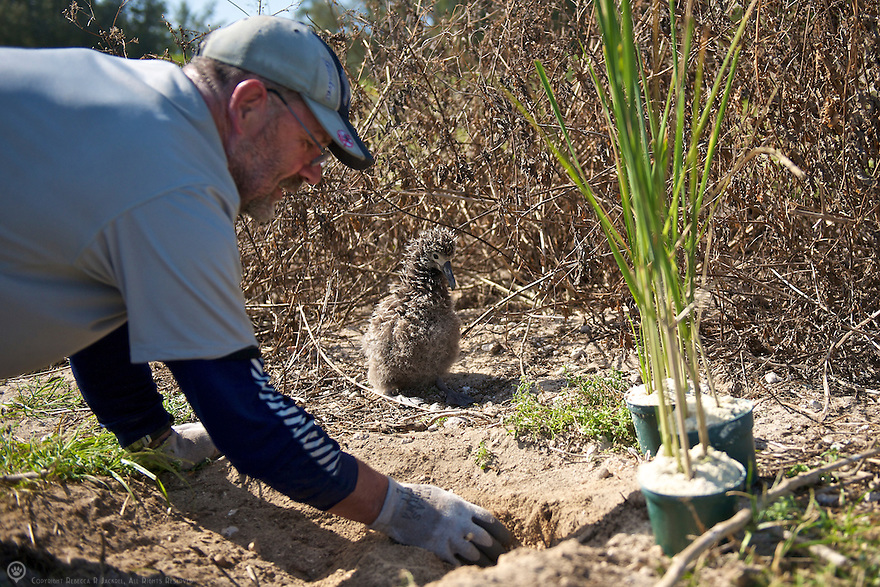 A volunteer plants new bunch grass during a habitat reconstruction program on Midway Atoll.  The young albatross love the new plants which provide shade and entertainment while they grow.<br /> <br /> Learn how you can become a Midway volunteer:<br /> http://www.fws.gov/midway/volunteer.html