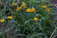 Wyethia angustifolia - California compassplant or Narrow-leaved Mule-ear flowering in California native plant garden, Regional Parks Botanic Garden, Berkeley, California