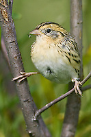Nelson's Sharp-tailed Sparrow with a fly