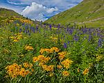 San Juan Mountains, CO<br /> Sneezeweed (Dugaldia hoopesii) and delphinium (Delphinium barbeyi) in an alpine meadow under summer skies