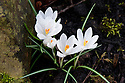 Crocus vernus 'Balkan White', late February.