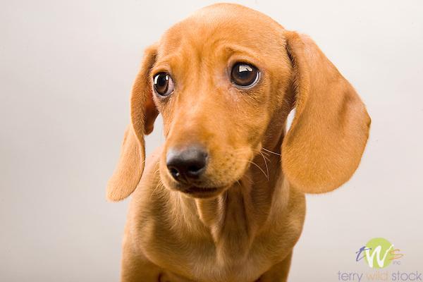 Miniature Dachshund puppy. 'Piper', 9 weeks.