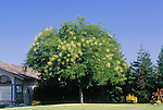 12559-CC Japanese Pagoda Tree, Sophora japonica, mature specimen flowering in lawn in July, at Bakersfield, CA USA
