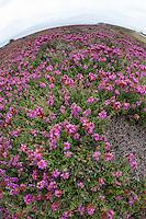 Wimpern-Heide, Wimpernheide, Wimperheide, Wimper-Heide, Dorset-Heide, Erica ciliaris, Dorset heath, Bruyère ciliée. Atlantische Küstenheide, Küstenheiden