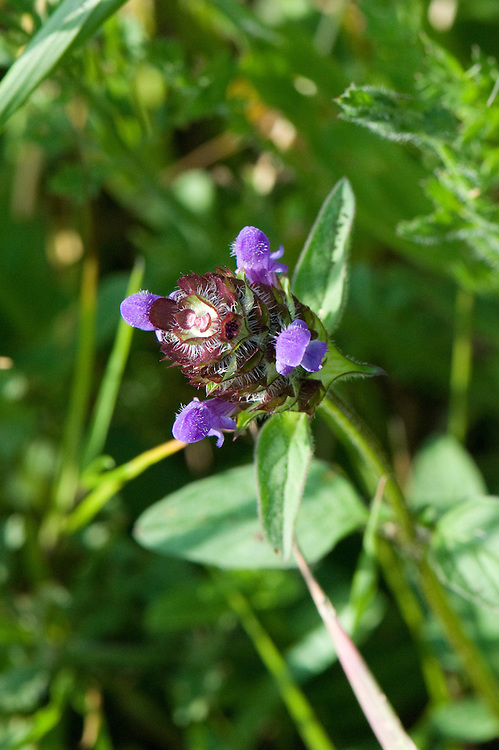 Selfheal (Prunella vulgaris), chalk grassland, East Sussex, late June.