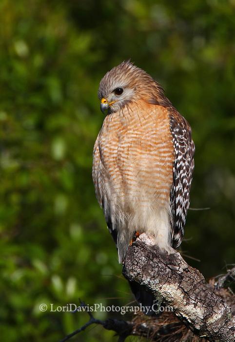 Red-Shouldered Hawk #B53