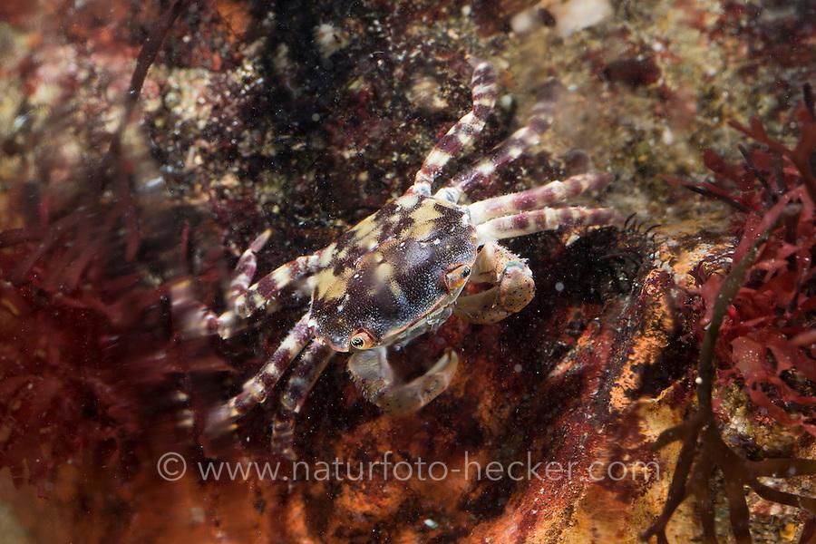 Japanische Felsenkrabbe, Asiatische Strandkrabbe, Hemigrapsus sanguineus, Grapsus sanguineus, Heterograpsus maculatus, Japanese shore crab, Asian shore crab, Pacific crab