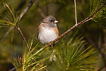 Dark-eyed junco in northern Wisconsin.