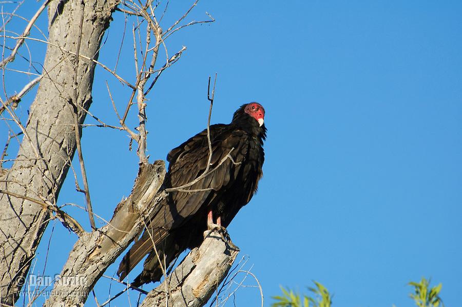 Turkey vulture, Cathartes aura. Near Pena Blanca Lake, Coronado National Forest, Arizona