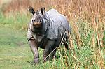 Male Indian One-horned Rhinoceros (Rhinoceros unicornis). Kaziranga National Park, Assam, India