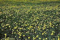 MD03-037b  Dandelion - spring meadow in flower -  Taraxacum officinale