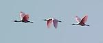 Roseate Spoonbill in Flight Platalea ajaja Sanibel Island Florida Composite Image