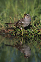 White-crowned Sparrow, Zonotrichia leucophrys,adult drinking, Welder Wildlife Refuge, Sinton, Texas, USA, April 2005