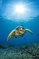 green sea turtle, Chelonia mydas, getting cleaned at cleaning station, Maui, Hawaii, USA, Pacific Ocean