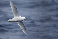 """Southern Giant-Petrel (Macronectes giganteus), """"white nelly"""" adult in flight off Sandy Bay, Macquarie Island, Australia."""