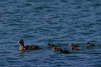 Eiderente, Weibchen mit Küken, Eider-Ente, Somateria molissima, Eider, Eider à duvet