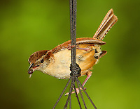Carolina wren with bug for babies. A pair of wrens have nested in a hanging basket on our back porch for years.