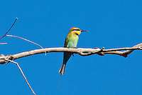 Rainbow Bee-Eater, Mareeba, Queensland, Australia