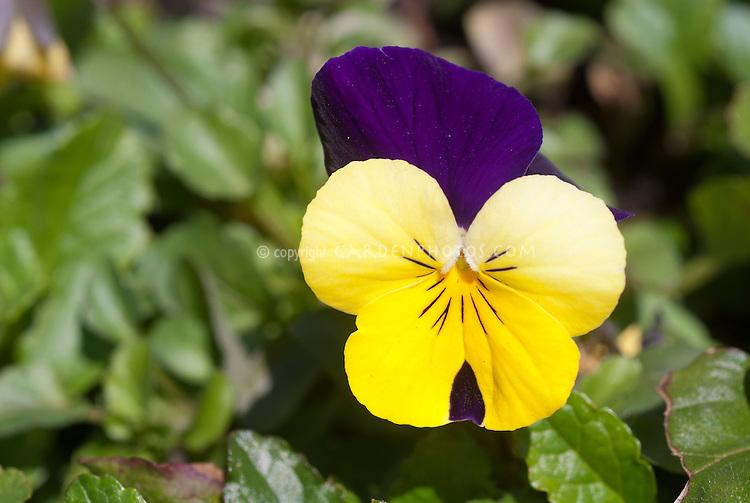 Viola Sorbet XP Yellow, yellow and purple, fragrant Viola johnny jump up