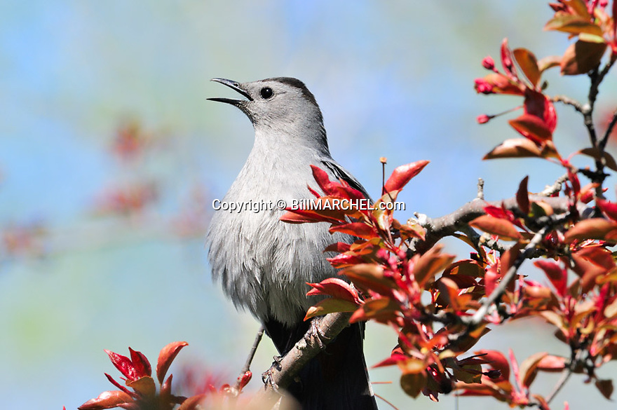 00135-005.14 Gray Catbird is singing while perched in red splendor crab apple tree about to bloom. Call, breed, teritory, backyard, habitat.