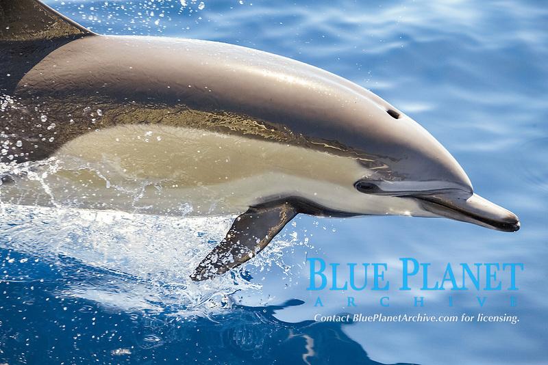 Common Dolphin, Delphinus delphis leaping.