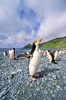 royal penguins, Eudyptes schlegeli, MacQuarie Island, Australia