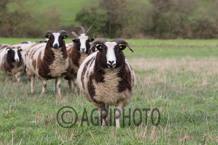 Jacob sheep <br /> Picture Tim Scrivener 07850 303986<br /> tim@agriphoto.com<br /> ….covering agriculture in the UK….
