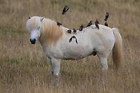 Stare und Islandponies, Star, Trupp, Schwarm, Starenschwarm, sammeln sich im Herbst zum Zug gen Süden und landen auf Pferderücken, Sturnus vulgaris, European starling, common starling, L'Étourneau sansonnet. Islandpferd, Isländer, Islandpony, Island-Pferd, Isländer, Island-Pony, Pony, Ponies, auf Island, Icelandic horse, Iceland, L'islandais, Islandais
