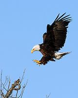 Bald Eagle at the Llano, Tx nest area approaches a landing spot.