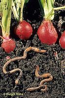 1Y01-088z   Earthworm - soil profile of worms burrowing beneath radishes in garden
