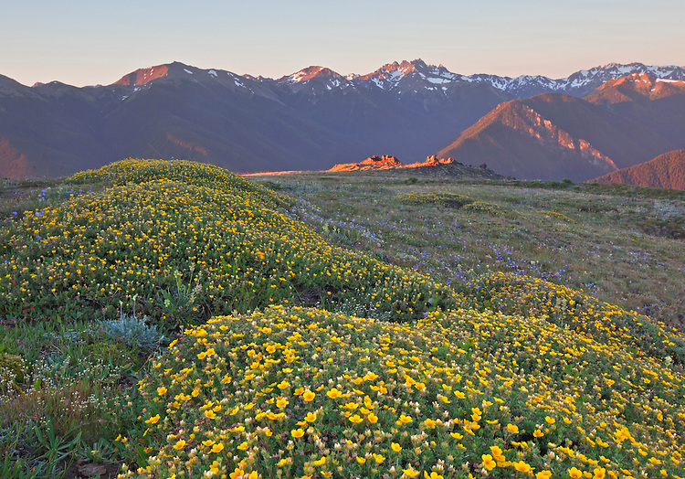 Summer wildflowers grace a meadow in Deer Park atop Blue Mountain in Olympic National Park, Washington, USA
