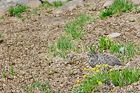 White-tailed Ptarmigan (Lagopus leucurus).  Mount Rainier National Park, WA.  Summer.