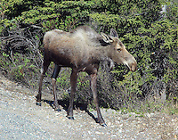 Female moose with calves back in the brush