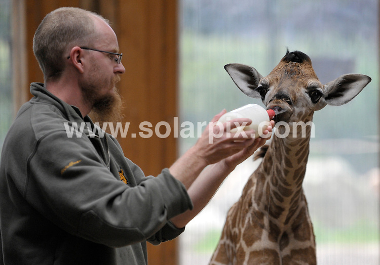 **ALL ROUND PICTURES FROM SOLARPIX.COM**.**SYNDICATION RIGHTS FOR UK AND SPAIN ONLY**.a giraffe was born at the Magdeburg Zoo, Magdeburg, Germany on June 7 2009. One week later the male calf, who is as yet unnamed, is healthy and well. Magdeburg, Germany. 16 June 2009.This pic: Baby Giraffe..JOB REF: 9252 CPR (Schlueter)  DATE: 16_06_2009.**MUST CREDIT SOLARPIX.COM OR DOUBLE FEE WILL BE CHARGED**.**ONLINE USAGE FEE GBP 50.00 PER PICTURE - NOTIFICATION OF USAGE TO PHOTO @ SOLARPIX.COM**.**CALL SOLARPIX : +34 952 811 768 or LOW RATE FROM UK 0844 617 7637**