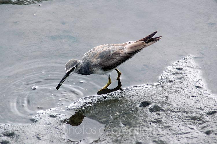 Spotted Greenshanks-Tringa guttifer